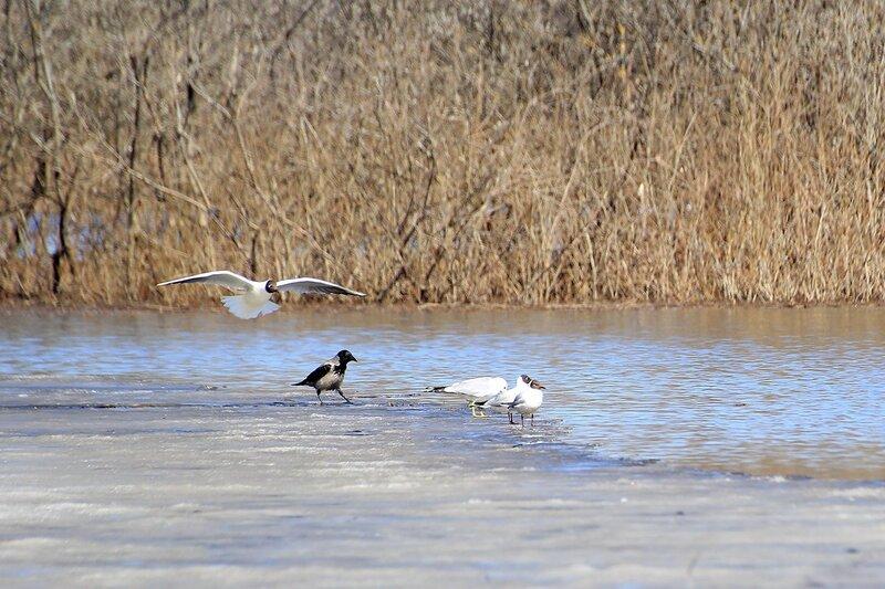 Чайки и ворона на льдине на озере Просное под Кирово-Чепецком - Половодье 2015: первый заплыв