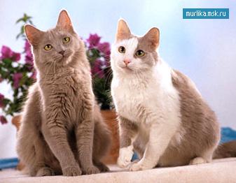 Йоркская шоколадная , йоркская шоколадная порода кошки