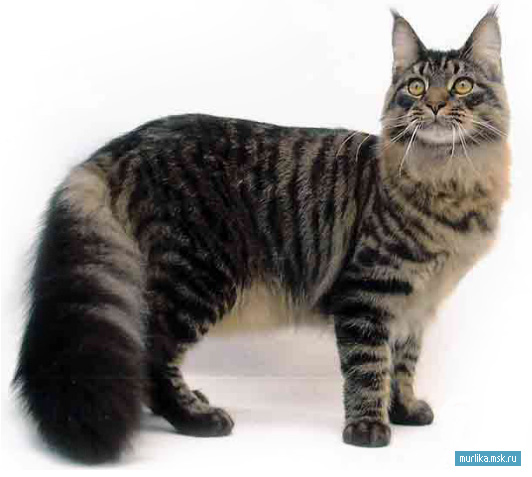 мей кун. кошки фото