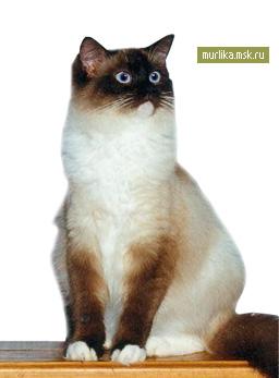 Невская маскарадная, невская маскарадная порода кошки