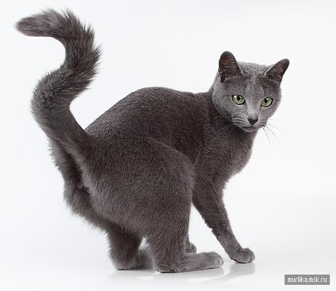 Нибелунг (Русская голубая длинношерстная), нибелунг (Русская голубая длинношерстная) порода кошки