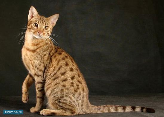 Оцикет, оцикет порода кошки