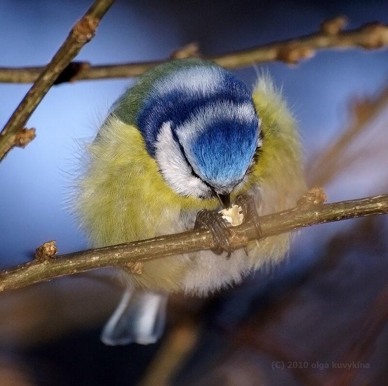 Делай три (едим семечку)/Лазоревка - Parus caeruleus