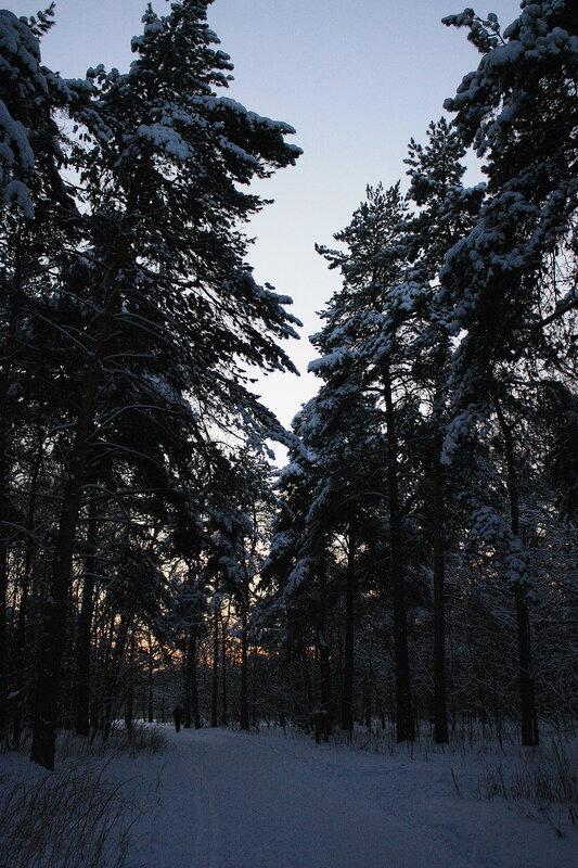 Лес, ели и закат