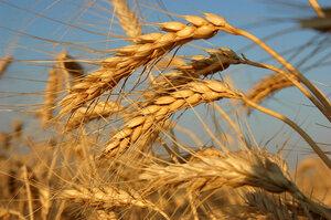 ...по итогам 2012/13 МГ Великобритания впервые за последние 11 лет, скорее всего, станет нетто-импортером пшеницы.