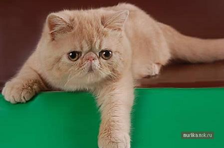 Экзот, экзот порода кошки