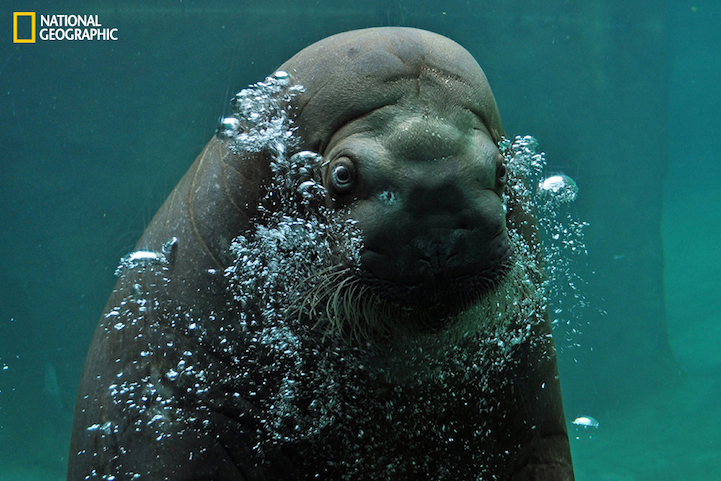 Capturing this gentle giant's inquisitive nature was rather easy as he swam right up to us and just stared for several long seconds. I love all the bubbles and his cute little face.National Geographic Photo Contest 2014PERMITTED USE: This image may be