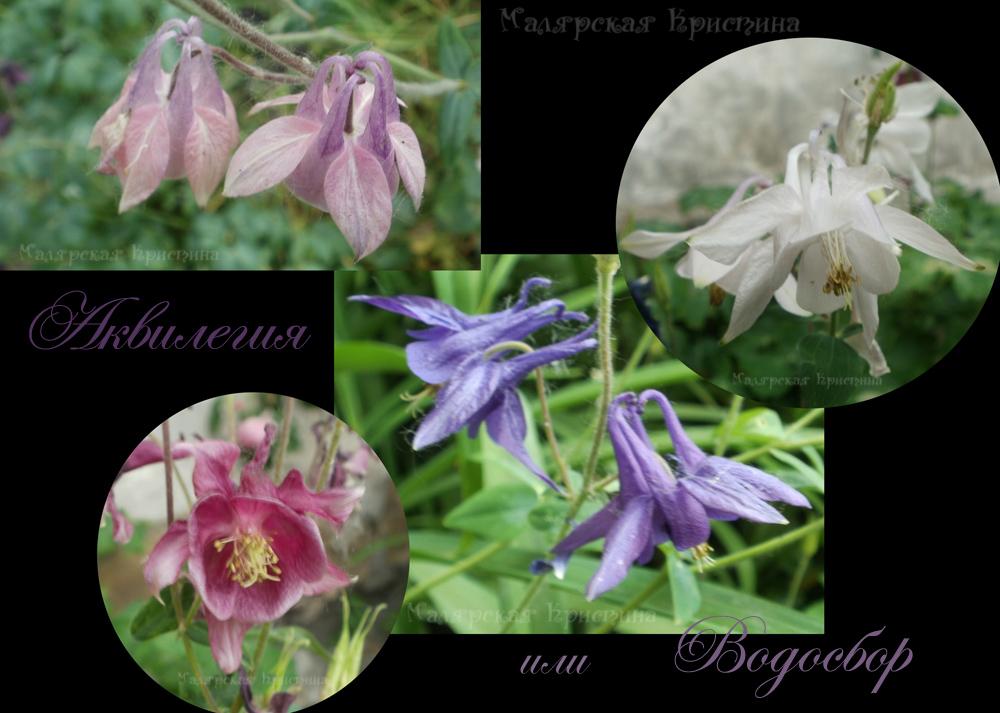аквилегия или водосбор цветы