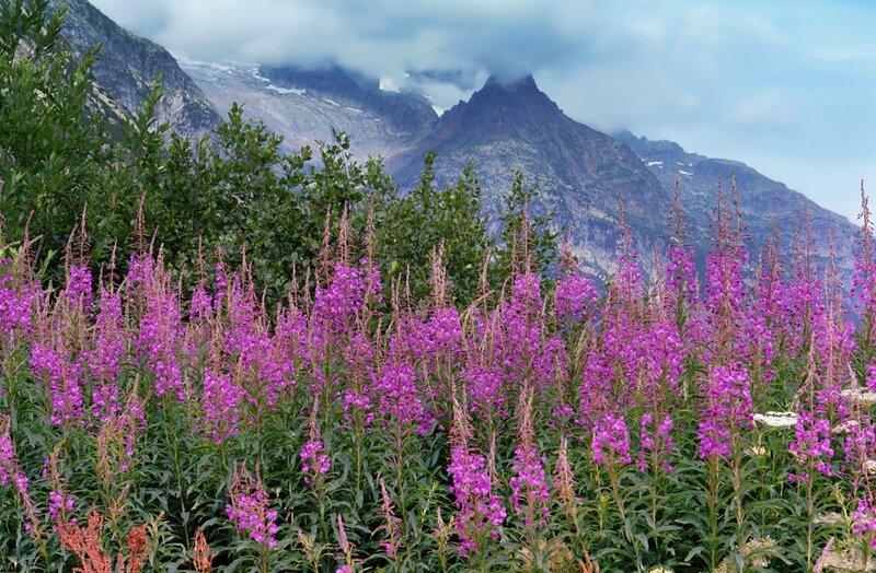 Кипрей цветёт, вершинками качая