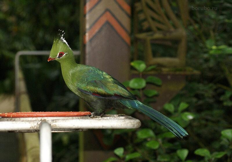 Турако Ливингстона (Tauraco livingstonii)