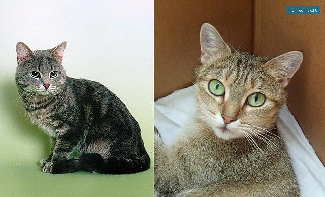 Европейская короткошерстная кошка, европейская короткошерстная порода кошки