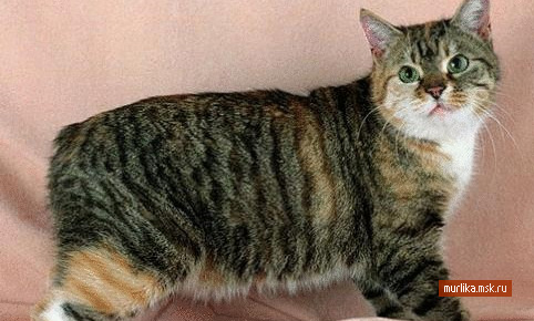 Манкс (Мэнская бесхвостая кошка), манкс порода кошки