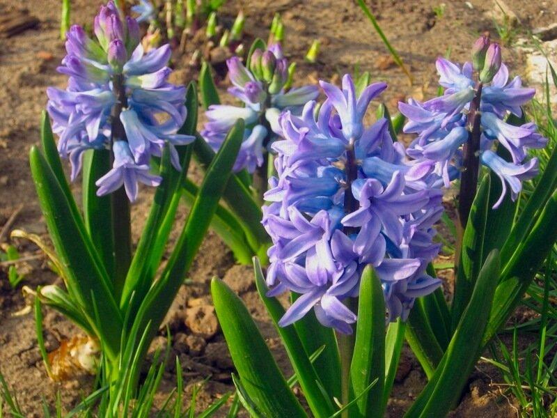 Весна,с.Остров, подворье,райский садик,гиацинты