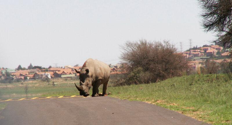 ЮАР, белый носорог