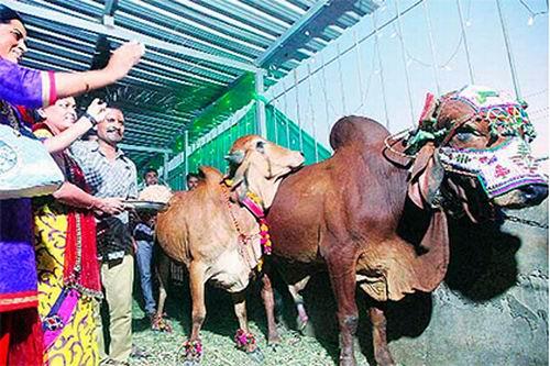 Свадьба индийского быка стоила хозяевам 27 000 долларов