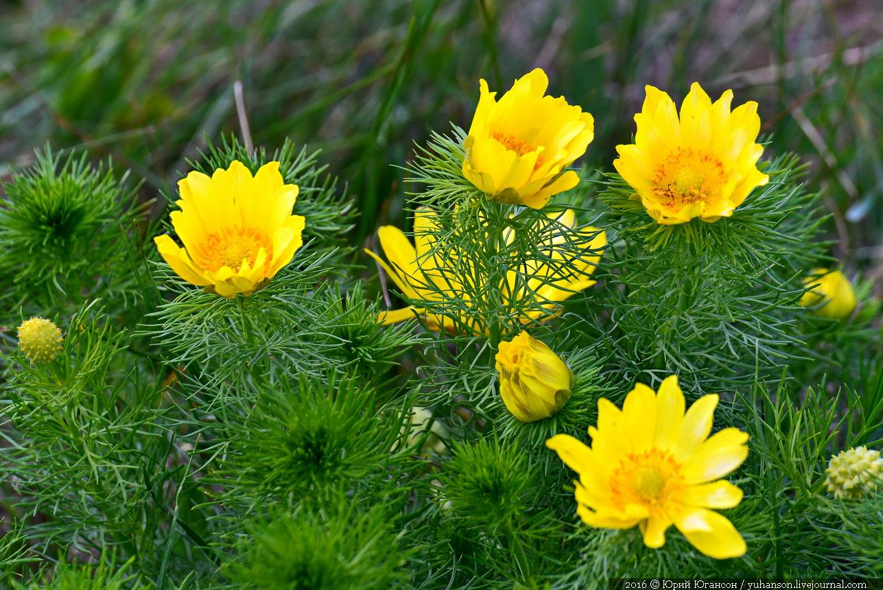 цветка весенний фото адонис