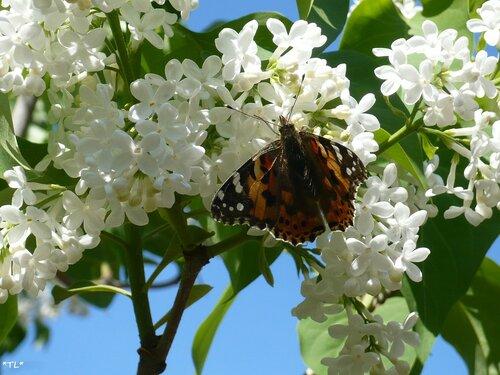 Бабочка Репейница на белой сирени