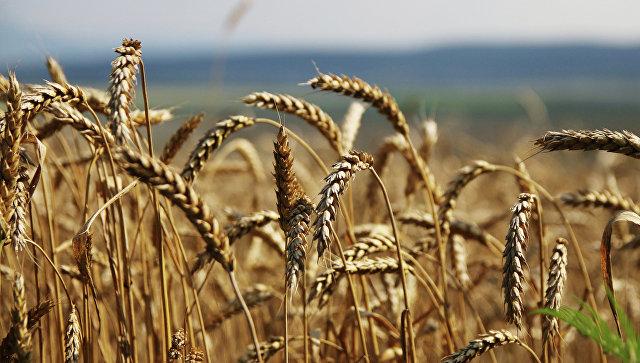 ВКитайской народной республике отыскали обугленные семена пшеницы возрастом 2,8 тыс. лет