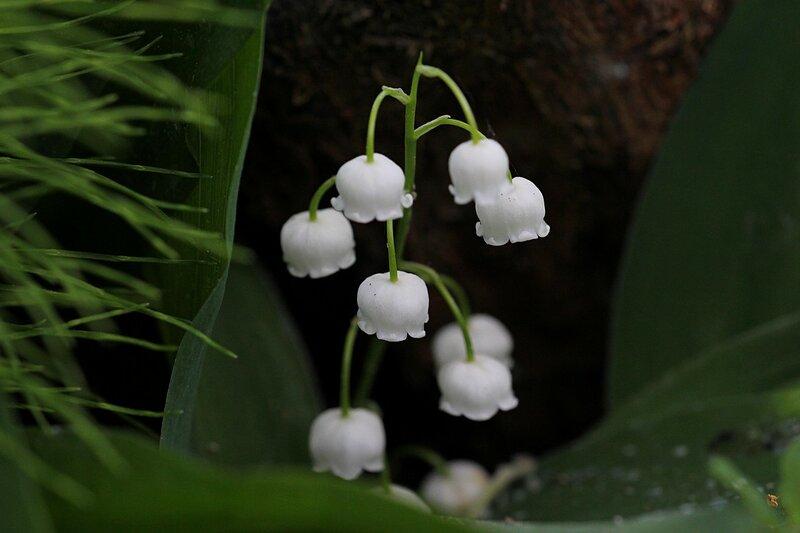 Белые колокольчики - цветки ландыша майского (Convallaria majalis) в тени, среди листьев и солнечных пятен