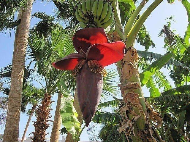 Бананы зацвели !