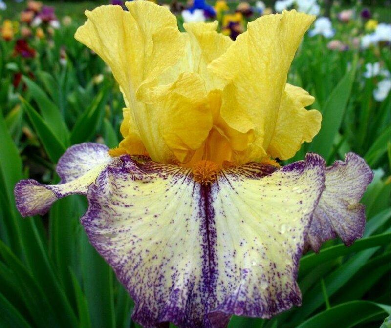 Где можно в магнитогорске купить ирисы цветы