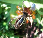 Голубой паук-2.jpg