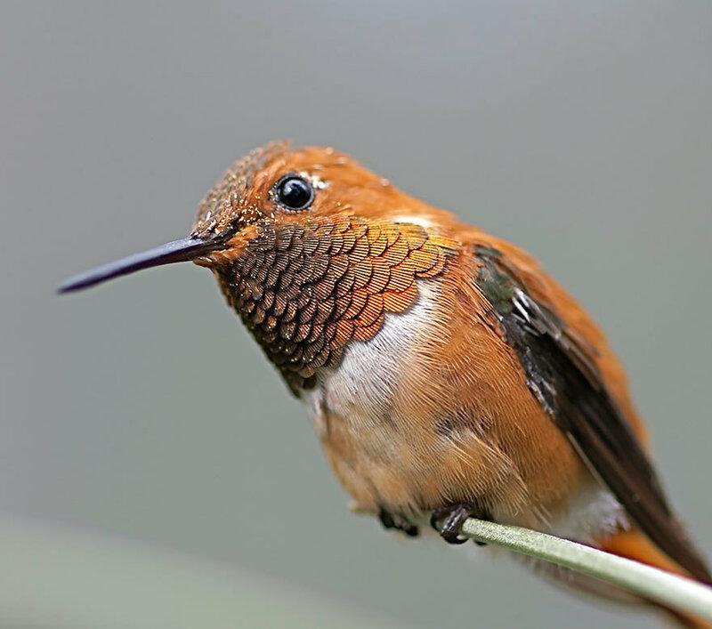 colibri-10.jpg