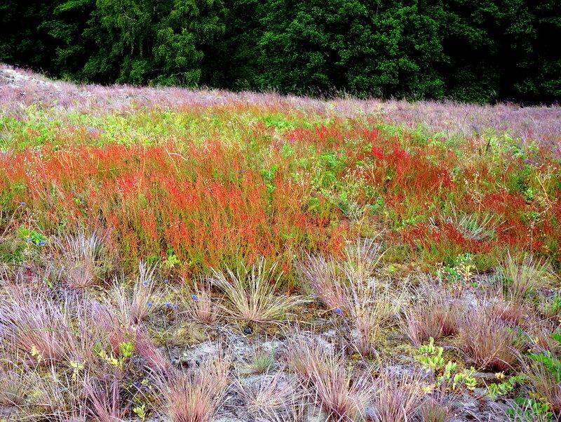 Красная трава на дюне