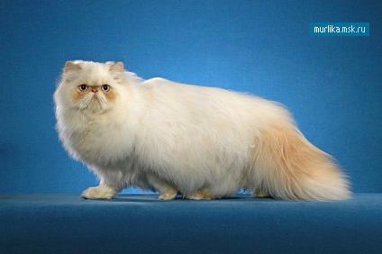 Гималайская кошка, гималайская порода кошки