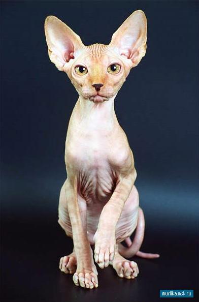 Канадский сфинкс, канадский сфинкс порода кошки