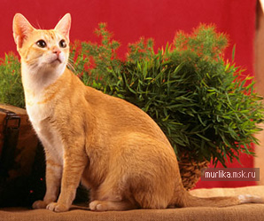 Цейлонская кошка, цейлонская порода кошки