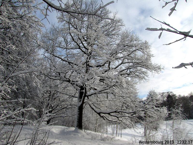 1232.17 Зимний дуб
