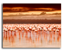 Кения. African flamingos in the lake over beautiful sunset, flock of exotic birds. Фото AnnaOmelchenko - Depositphotos