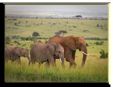 Кения. Масаи Мара. Фото wrobel27 - Depositphotos