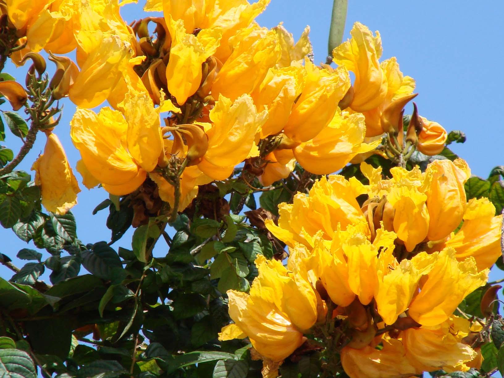 тюльпанное дерево фото в домашних условиях боковых