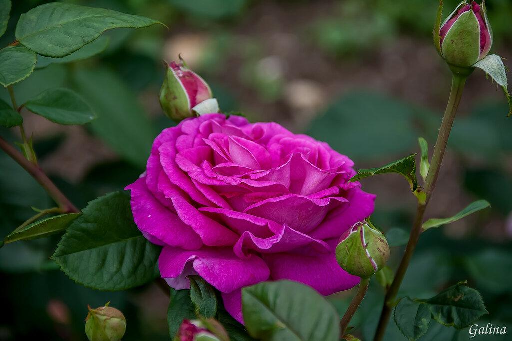 Роз много не бывает