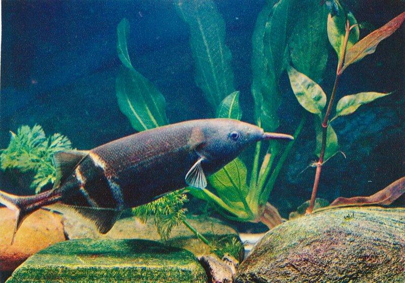 Мормирус, рыба-слон Gnathonemus petersii (Gunther)