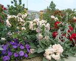 Розы почвопокровные Хелло (Hello) Meilland, 2002 и Лавли Меялан (Lovely Meilland) Meilland, 2000