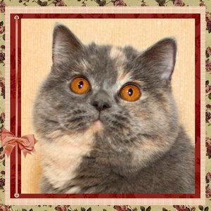 БравоБРИ Айриш-Крим g британская короткошерстная кошка лилового серебристого мраморного окраса