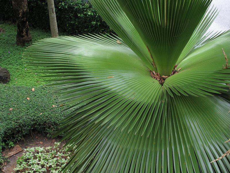 разновидности пальм названия и