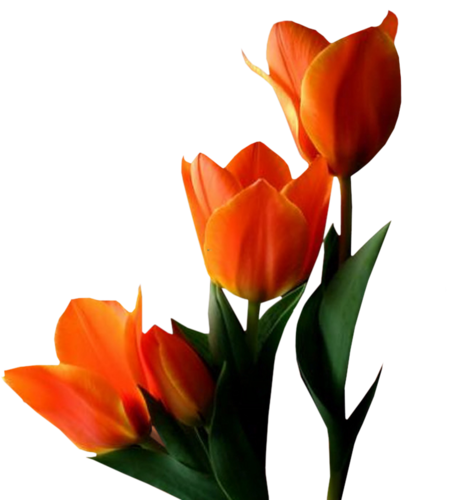 тюльпаны_Tulips (26).png