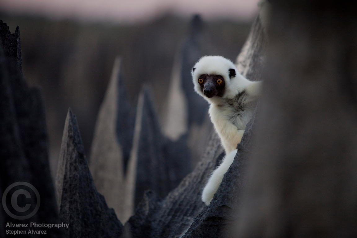 Decken's Sifaka lemur (propithecus verreauxi deckeni) in the Grand tsingy. The Deckens range is restricted to Western Madagascar between the Manambolo and Mahavavy rivers.