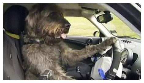 Собаки гонщики, не верится, но факт