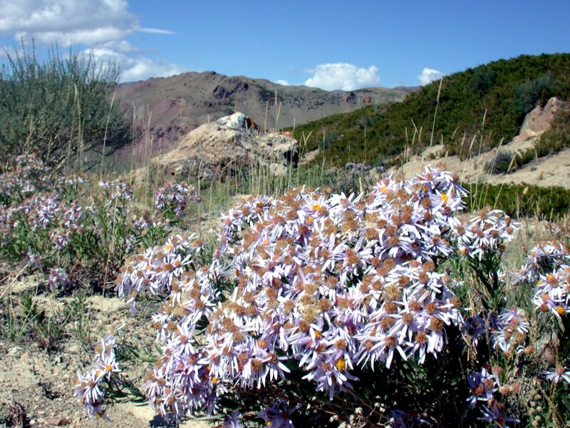 Солонечник в горах Алтая