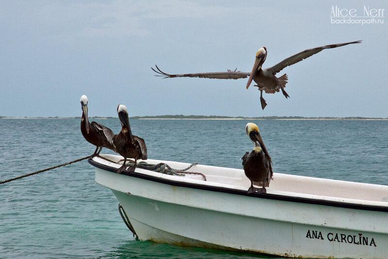 красавцы-пеликаны