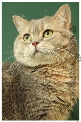 Лаптева-фото - Фотографии животных для питомников и заводчиков 0_be2e3_590d055_L