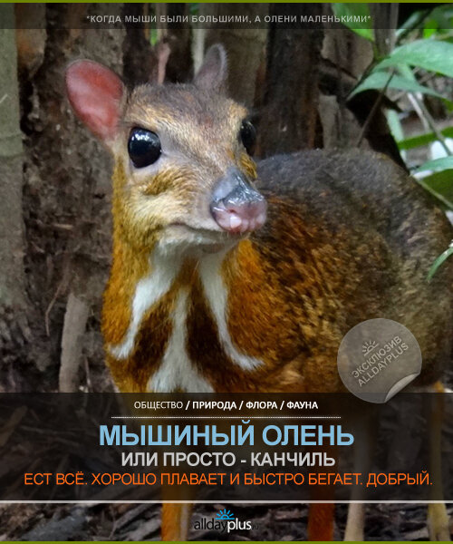 Мышиный олень, по имени Канчиль. Маленький и застенчивый олень. И фото, и видео, и инфа.