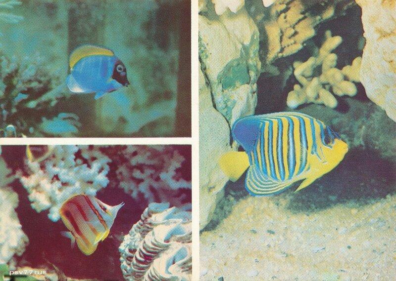 Голубая рыба-хирург (Acanthurus leucosternon). Рыба-ангел (Pygoplites diacanthus). Меднополосая рыба-бабочка (Chelmon rostratus).