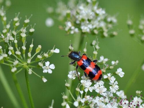 Пестряк пчелиный (Trichodes apiarius) Автор: Владимир Брюхов