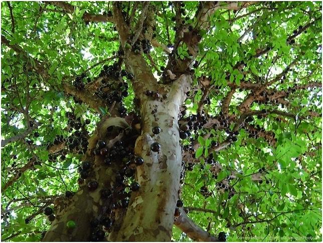 Удивительное дерево Джаботикаба